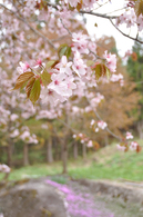 石添え桜2.jpg