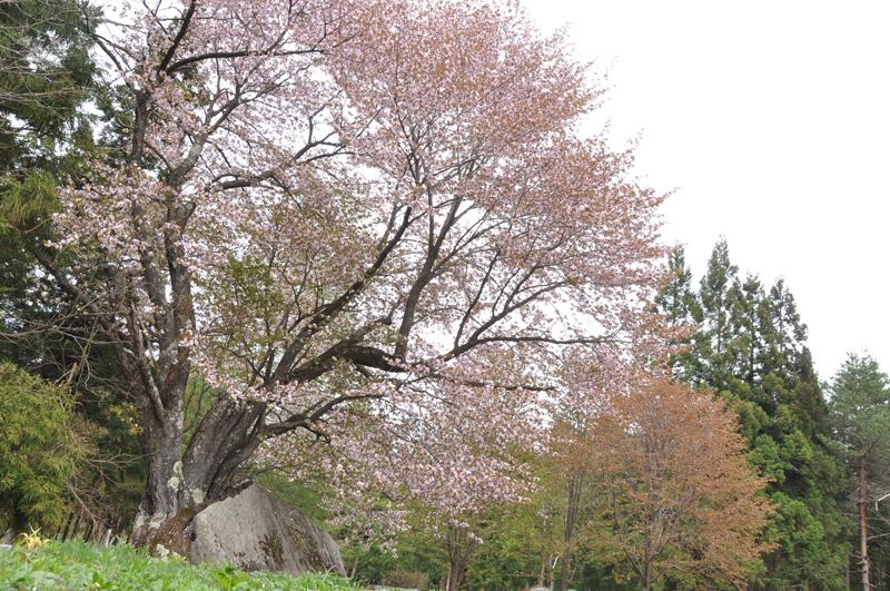 石添え桜.jpg